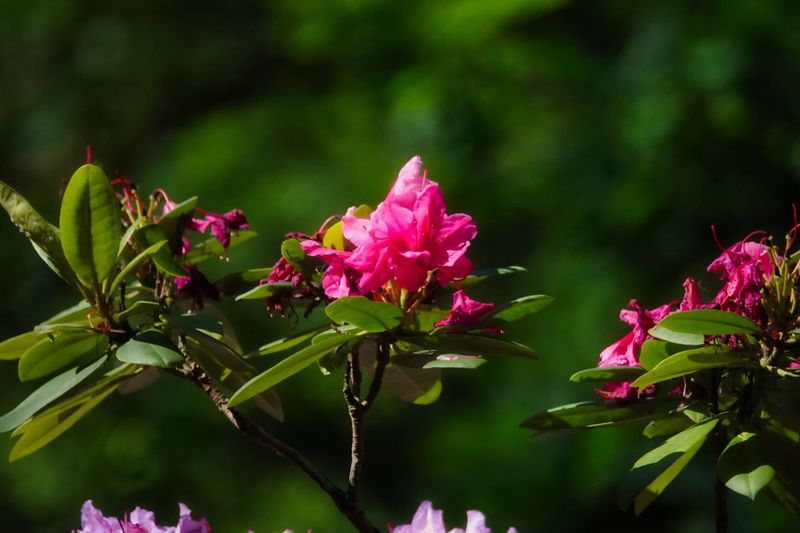 Rododendron Flower Flowering Plant Plant Pink Color Beauty In Nature Fragility Vulnerability  Growth Freshness Leaf Nature Plant Part Close-up Petal No People Flower Head Day Water Inflorescence Outdoors