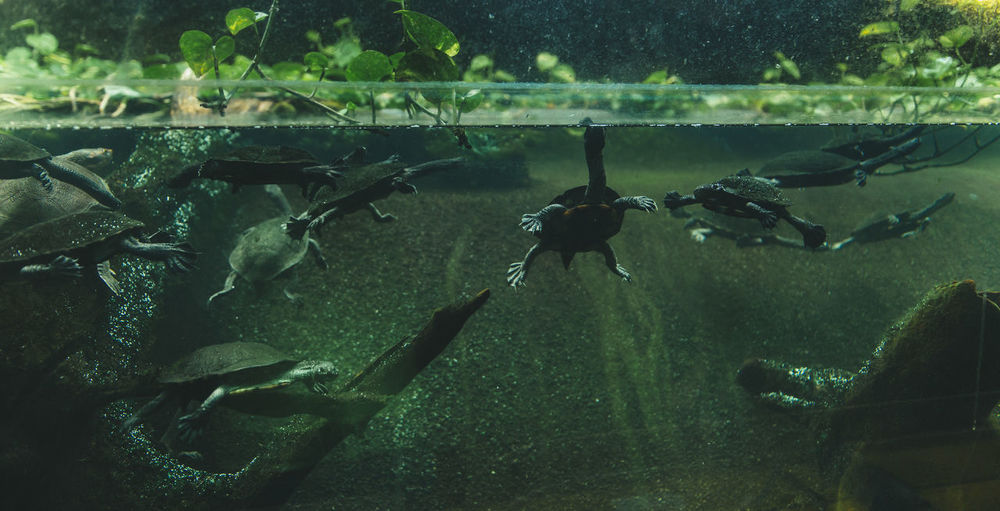 Close-up of turtles swimming in fish tank at aquarium