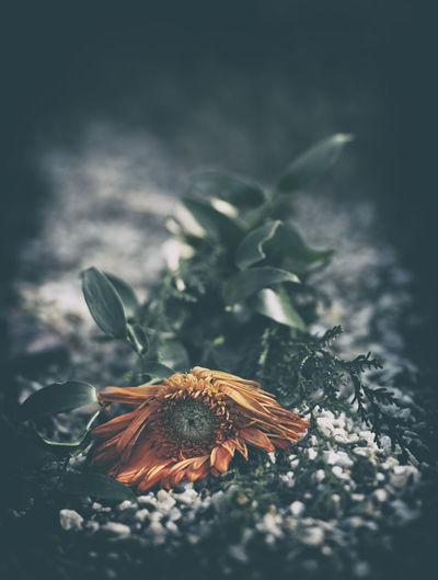 """""""The Fallen"""" Botany End Faded Fallen Flower Flower Head Flowerporn Flowers Flowers,Plants & Garden Fragile Fragility Leaf Moody Nature Petal Stem"""