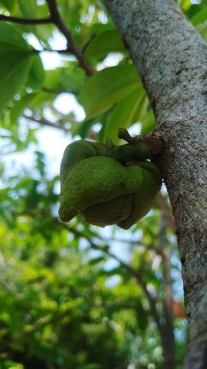 soursop pistil fruit Tree Plant Fruit Branch Leaf Perching Animal Themes Close-up Green Color
