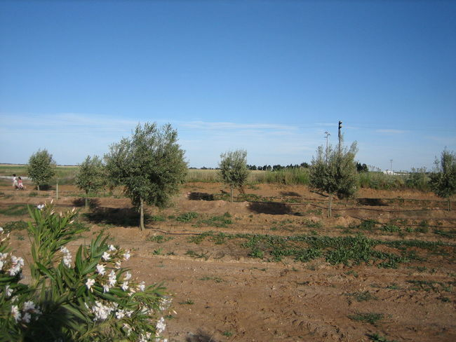 Beja 2006 Beauty In Nature Blue Clear Sky Day Field Growth Landscape Nature No People Olive Tree Outdoors Plant Scenics Sky Sunlight Tranquil Scene Tranquility Tree