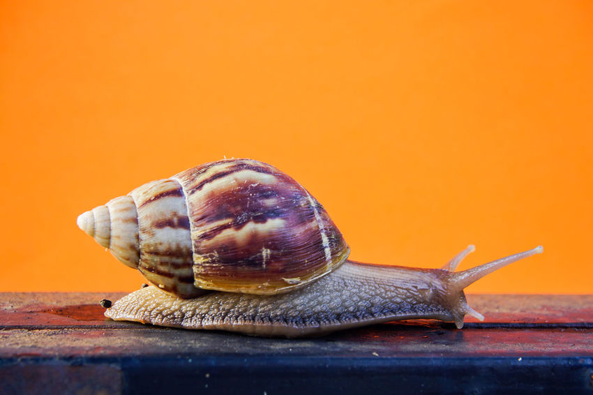 Animal Shell Animal Themes Animal Wildlife Animals In The Wild Close-up Day Gastropod Nature No People One Animal Outdoors Snail Wildlife