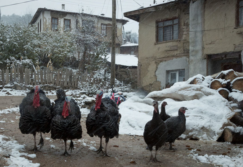 Turkey Run Animal Themes Architecture Bird Birds Building Exterior Built Structure Chirstmas Christmas Dinner Cold Temperature Day Domestic Animals Feathers Livestock Mammal Outdoors Snow Sünnetköy Thanksgiving Thanksgiving Dinner Tree Turkey Sandwich Turkey ♡ Turkeys Village Life Winter