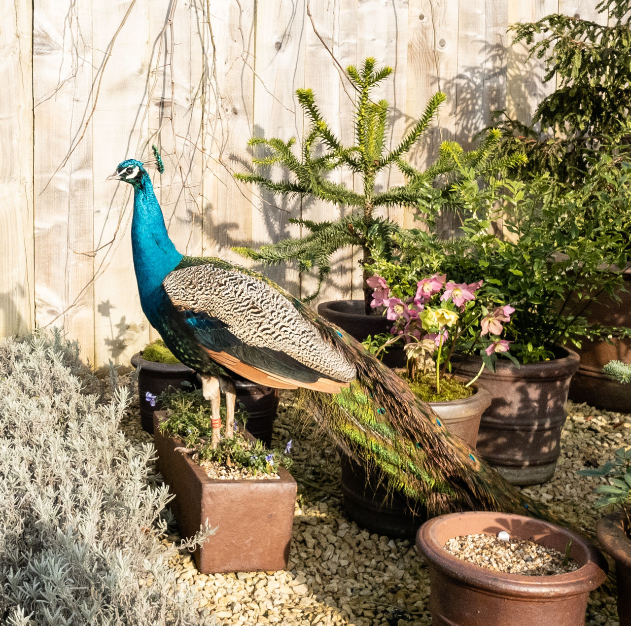 CLOSE-UP OF PEACOCK IN POTTED PLANTS