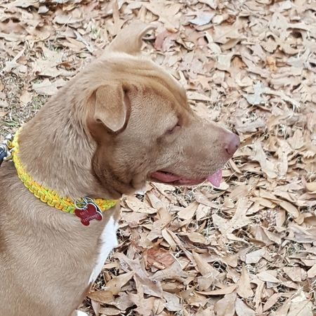 Sweet Honey waiting to go on our walk Pets Dog Domestic Animals One Animal Animal Themes Mammal High Angle View Outdoors No People Day Close-up Outdoor Photography Love My Life  South Carolina Love Where You Live Honey Pitbull Pitbull Love My Fur Baby Spartanburg Love My Life