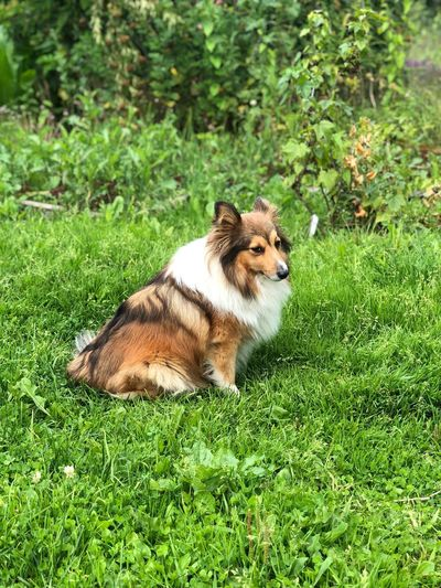 Dog Dog In Garden Dog In Grass Sheltie One Animal Animal Themes Green Color Animal Plant Mammal Grass Vertebrate Nature No People Relaxation Growth Animals In The Wild Animal Wildlife Day Land Sunlight Field Outdoors High Angle View
