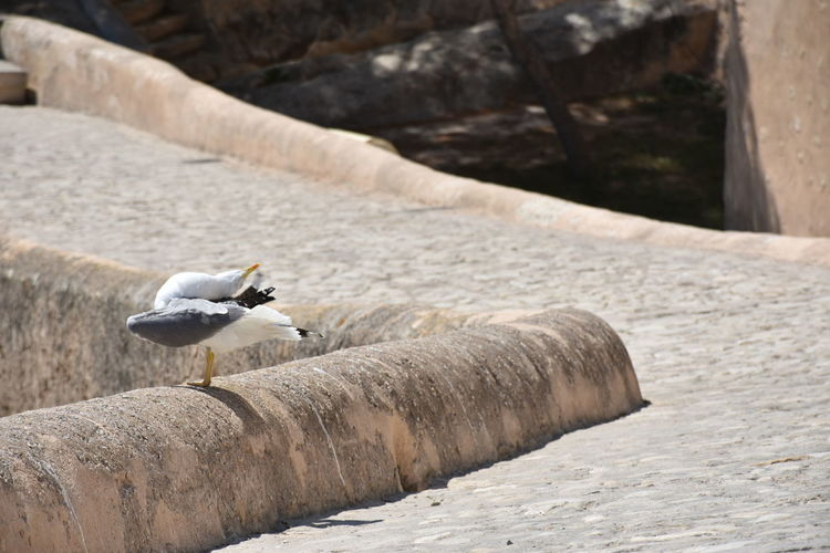 Seagull Perching On Retaining Wall At Santa Barbara Castle