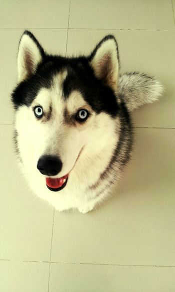 Chaingmai Syberianhusky Lovelovelove Crazy Dog Magnum!!!