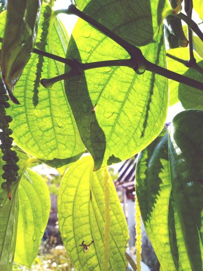 Be. Ready. Green Color Sunlight Freshness Plant Nature Growth Leaf Day Beauty In Nature Outdoors Peppers Paper