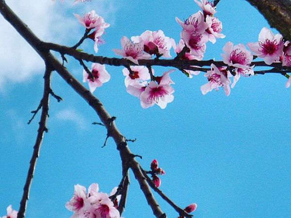 Spring Peachblossoms Peachtree Pink Blossoms  Rainbow Wall Rw_happycolors 1word1pic_love Pocket_colors 1word1pic_up 9vaga_letterp9 9vaga_beginning9 9vaga_colorpink9 9vaga_colorblue9 Inthesky_nio