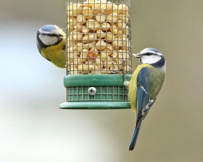 Close-up of bluetit perching on bird feeder