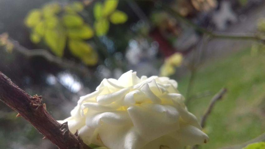 Flower Nature Beauty In Nature Day Enjoying Life EyeEm Team I Love My Job! Hi! Hello World Nature Whiteflower EyeEm Best Shots Peace Smile❤ Taking Photos Love Pretty 🎀 FlowerRelaxing Flowers Photo I Loved <3 Nature Petal Growth