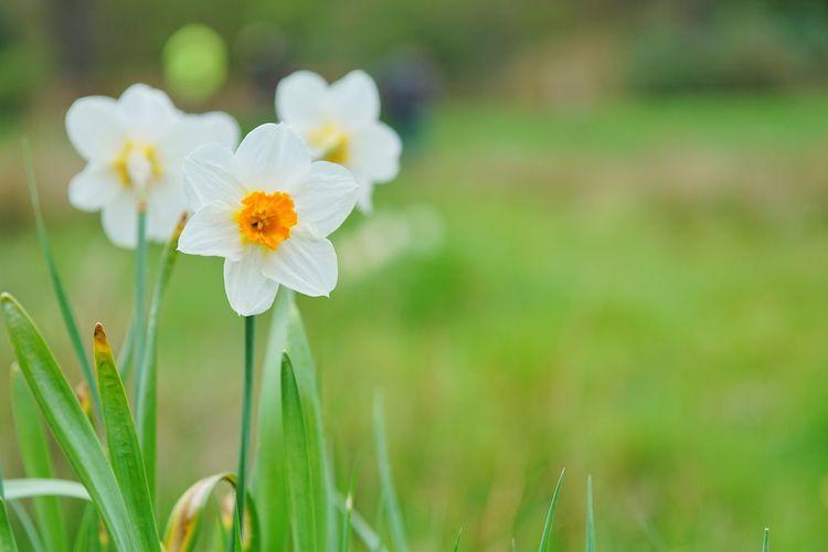 Daffodils EyeEm