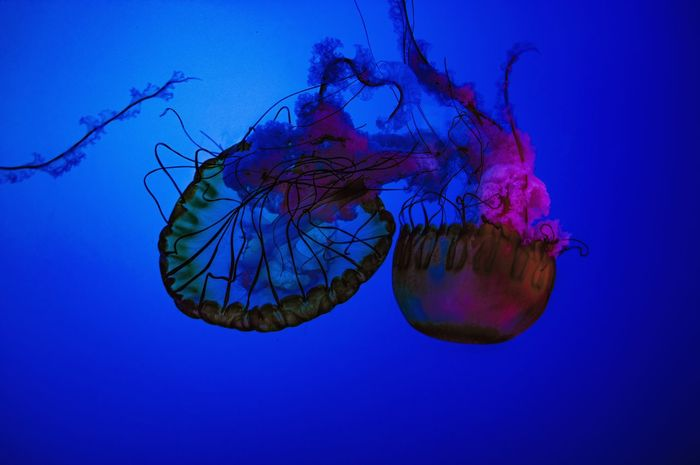 UnderSea Sea Life Water Swimming Underwater Sea Jellyfish Blue Tentacle Colored Background Floating In Water Smooth Aquarium Fish Tank Captivity Fish Animals In Captivity Blue Background Colliding