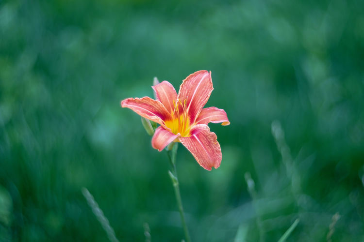 Close-up of fresh day lily blooming outdoors