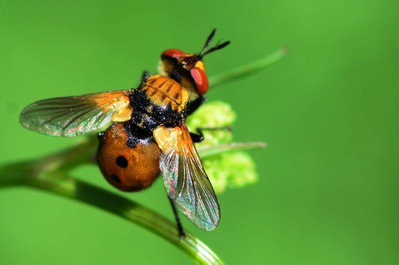 Parasite fly