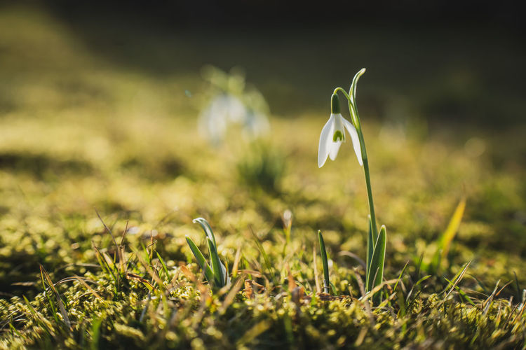 Close-up of white flowering snowdrop on field