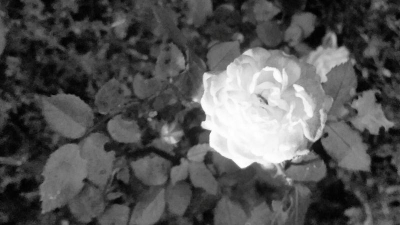 'Red Roses, Blue Eyes' -Taminick Brooks Roses Fine Art Photography Rose🌹 Rosé Blackandwhite Black & White Black And White Roses Are Red I Painted It Black Because I Know You Don't Like Normalvthing Taking Photos Relaxing Micro Shot Microadventure Nature_collection Emotions Hello World Du Bist Gut.