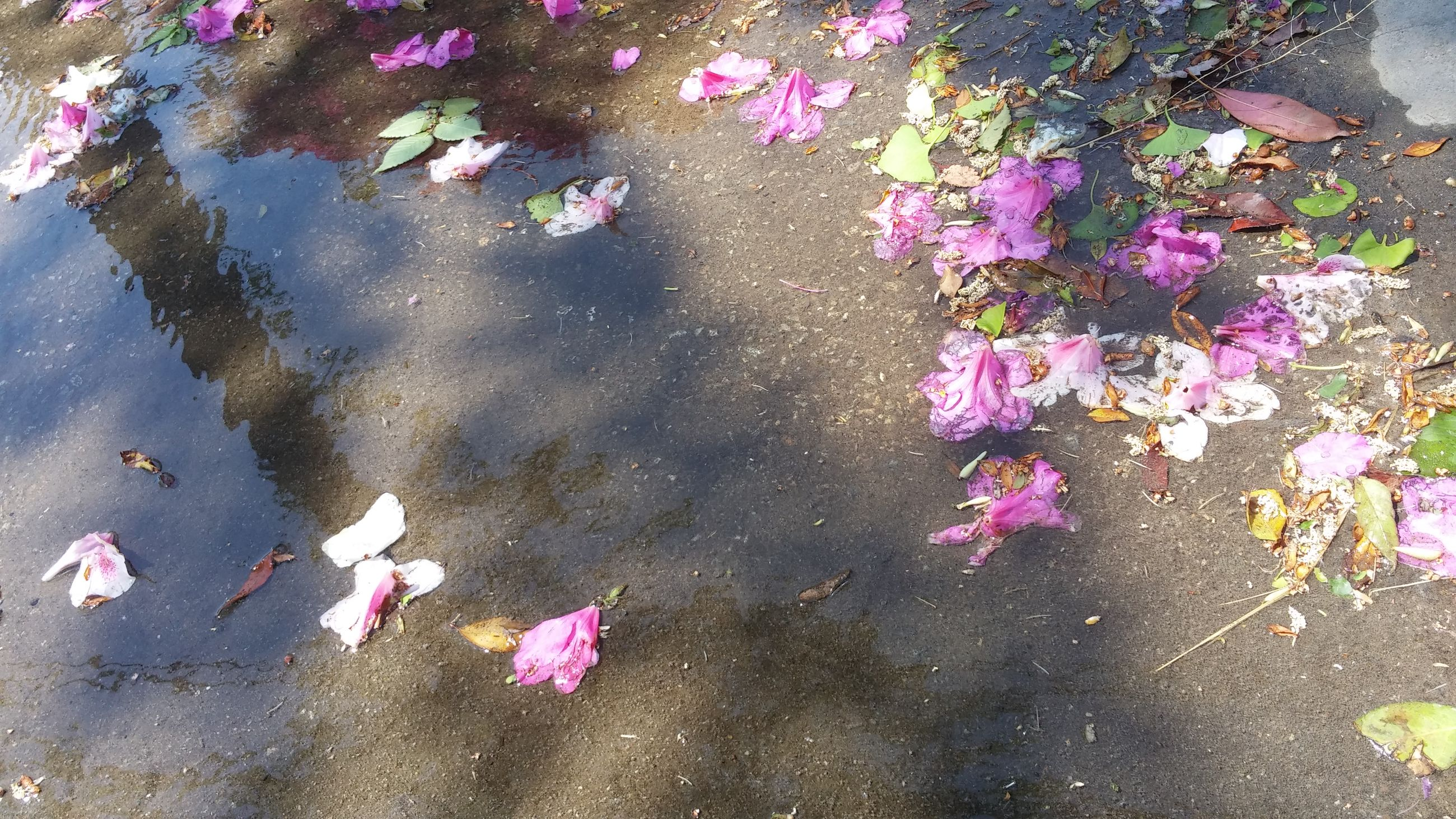 water, high angle view, flower, pink color, leaf, pond, reflection, nature, floating on water, beauty in nature, petal, lake, fragility, outdoors, day, fallen, plant, freshness, no people, growth