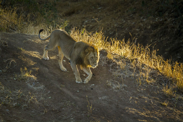 Lion walking on land in forest