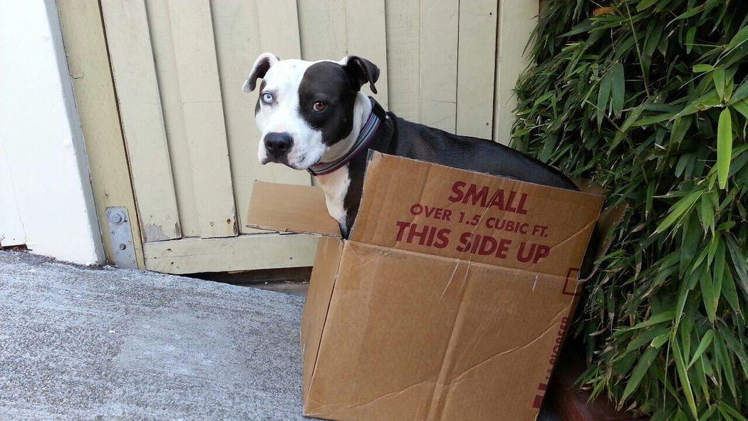 Pets Corner Spoon The Dog Box Heterochromia Staffy Pitbull