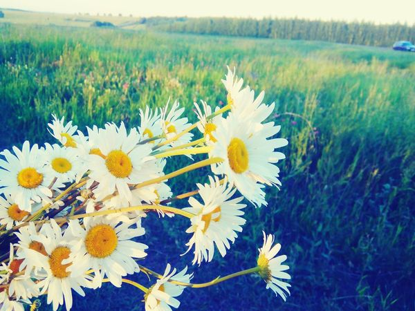 Music Brings Us Together , Flower Botany Nature Plant White Color Flower Freshness Fragility Growth Beauty In Nature Petal Nature Plant Flower Head Close-up White Color Grass Daisy Water Springtime Blossom In Bloom Field Day First Eyeem Photo