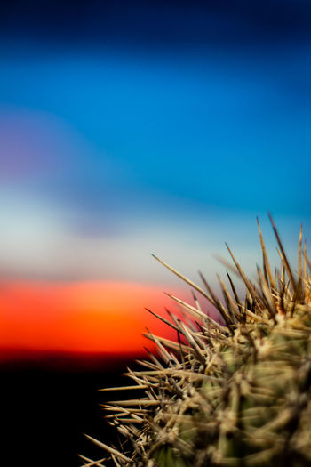Close-up of cactus plant against sky during sunset