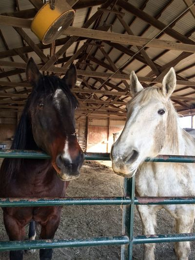 The faces of my horses when they see me coming in the pasture barn with hay bales, yes they are beggars! 4 Legged Kids Horses Equine Rescue Horse Wild Mustangs Percheron Stables Barn Domestic Animals Horse Animal Themes Mammal Livestock Day No People Indoors  Nature