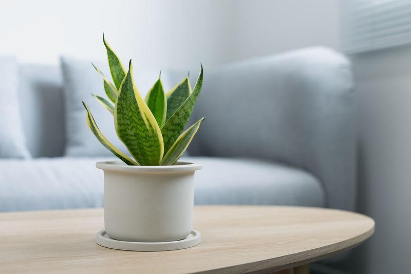 Decorative sansevieria plant on wooden table in living room. sansevieria trifasciata prain.