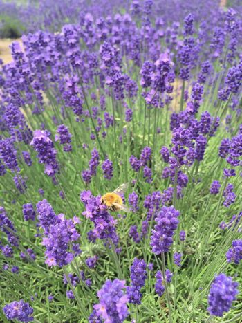 Nature_collection Busy Bee Lavender Hokkaido,Japan Travel