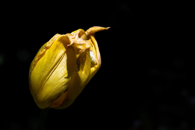 Tulip Against Dark Background Natural Light Dieing Flower Flower Flora Garden Spring Dark Copy Space No People Flowering Plant Freshness Beauty In Nature Vulnerability  Fragility Plant Petal Growth Close-up Nature Flower Head Inflorescence Black Background Yellow Selective Focus Dark Background Springtime Decadence