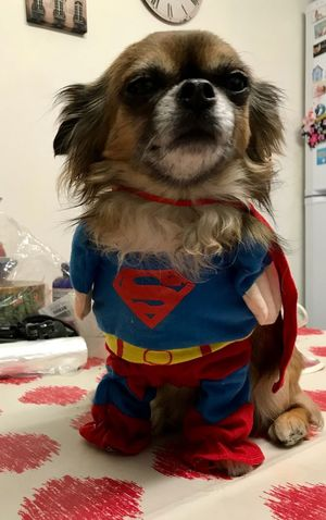 Ready to save to world (one nap at a time 😴) Dogs Of EyeEm Pet Dressup Superman Pet Photography  Long Haired Chihuahua Chihuahua Pet Costume Fancy Dress Superdog Dogs Indoors  Sitting No People Day