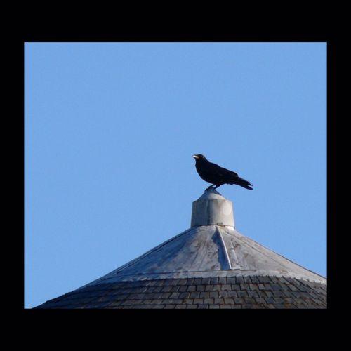 """Brevior est hominum vita quam cornicum"". ""La vie des hommes est plus courte que celle des corneilles"" disaient les Romains. Crow Bird Amboise Roof"
