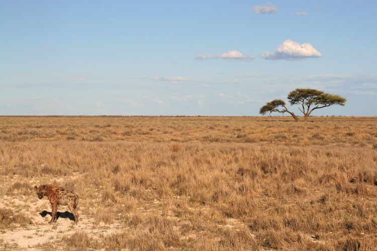 Hyena on field against sky