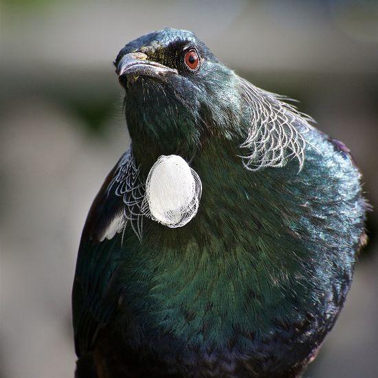 NZ Tui. Beautiful Plumage Beauty In Nature Bird Nature No People NZ Nz Native Bird Nz Song Bird One Animal Plumage Song Bird Tui Tui Bird
