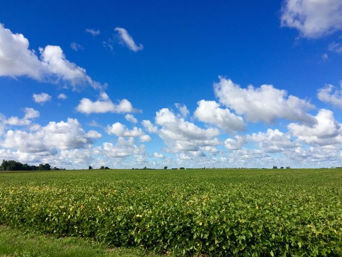 Crops Growing On Farm Against Blue Sky