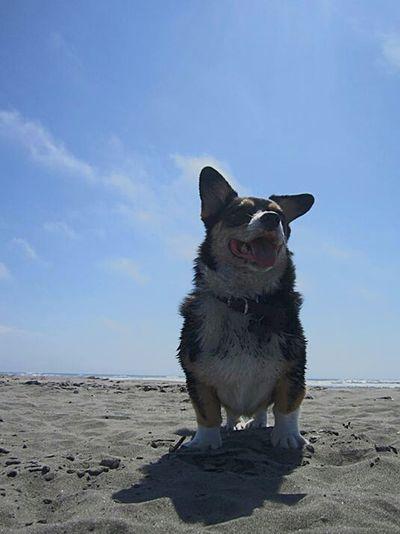 semaphore ears Welsh Corgi Pacific Ocean Puppy Mill Survivor