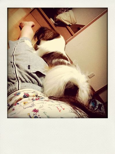 Dog Papion Partner Bro