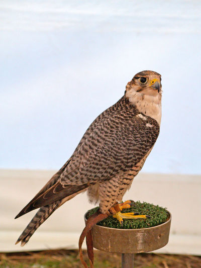 Animal Themes Animal Wildlife Animals Animals In The Wild Bird Bird Of Prey Birds Close-up Day Environment Falco Falco Cherrug Falco Rusticolus Falcon Falconry Falconry Display Gerifalte Hawk Nature No People One Animal Outdoors Perching