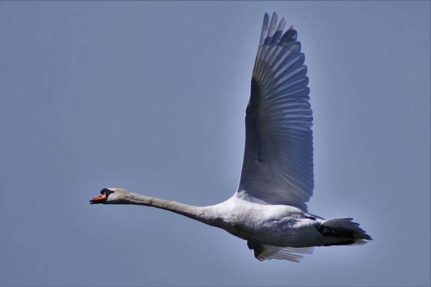 Animal Themes Avian Beauty In Nature Bird Blue Day Flying Flying Swan Low Angle View Mid-air Nature No People Outdoors Sky Spread Wings Wildlife