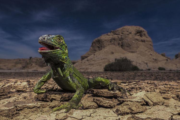 Primer foto fuera de mi area de confort. Desert Desierto Desierto De Atacama Iguana Reptile Reptile Photography Reptile World Reptiles First Eyeem Photo