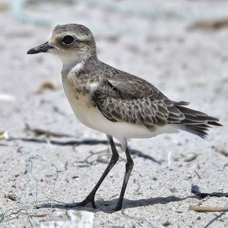 Lesser Sand Plover Animal Wildlife Bird One Animal Nature Outdoors Animal Themes No People Sand Day Animals In The Wild Close-up Beauty In Nature Birds🐦⛅ Bird Photos Feather  Beak Feather  Beach Side View