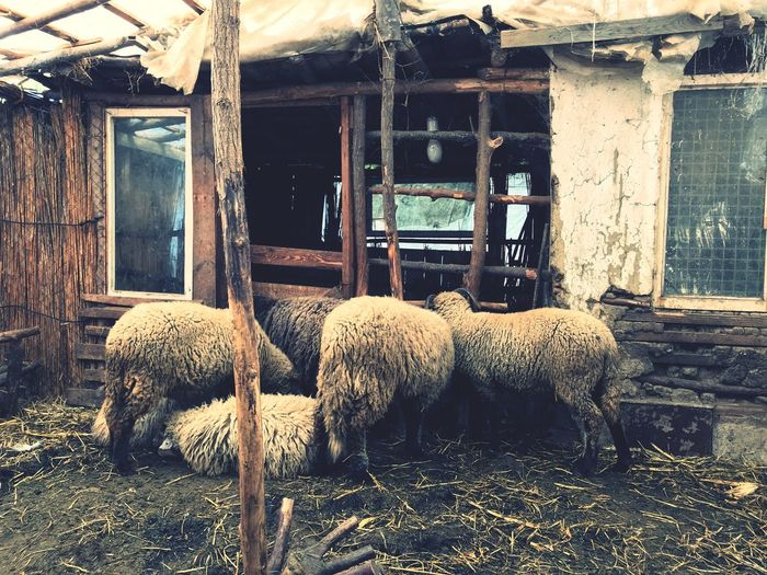 Sheeps Sheep EyeEm Selects Day Built Structure No People Animal Animal Themes Nature Group Of Animals Vertebrate Mammal Architecture Building Exterior Outdoors Pets Domestic Animals Domestic Old Window House