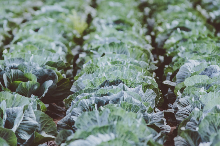 Beauty In Nature Cabbage Close-up Cold Temperature Day Food Food And Drink Freshness Full Frame Green Color Growth Healthy Eating Ice Leaf Leaves Nature No People Outdoors Plant Plant Part Selective Focus Vegetable Wellbeing