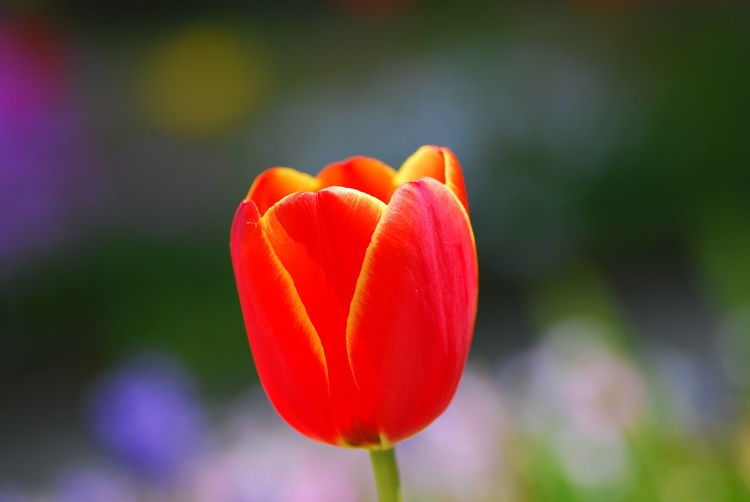Tulip🌷 Flower Nature Beautiful Blooming Beauty In Nature Natural Beauty Nature Photography Nature_collection EyeEm Nature Lover Flowerlovers Dreaming Bokeh Bokehphotography Flowers Flowers, Nature And Beauty Flower Photography Flower Collection Macrophotography EyeEmNewHere