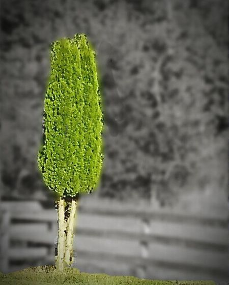 Trimmed Spruce Trees EyeEm EyeEm Gallery Landscaping_services Spruce Trees Trees Macro Photography Black And White With A Splash Of Colour Smartphone Photography Macro Photograpghy