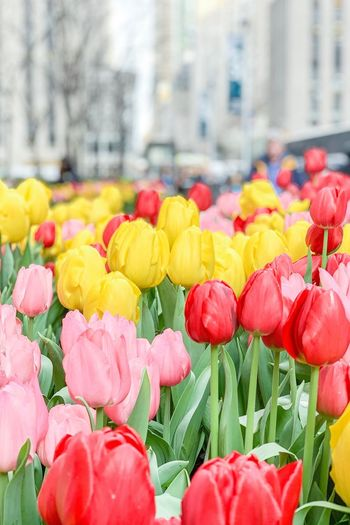 Flowers Tulips Tulip Plant Multi Colored Flowering Plant Freshness Flower No People City Inflorescence Fragility Built Structure Flower Head Beauty In Nature Architecture Day Nature Close-up Yellow Outdoors Focus On Foreground Tulip