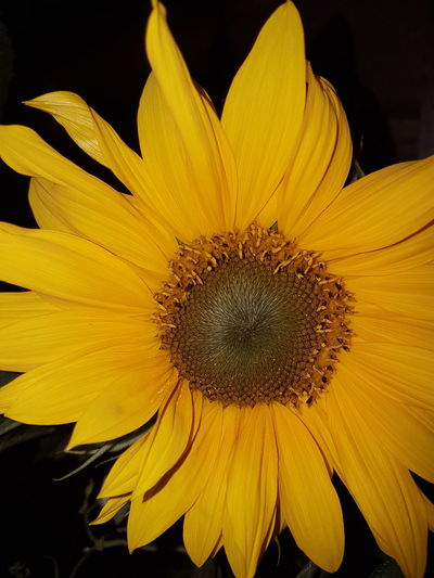 Flower Sunflower🌻 Summer Time  Beauty In Nature Night Shot Mobile Photography