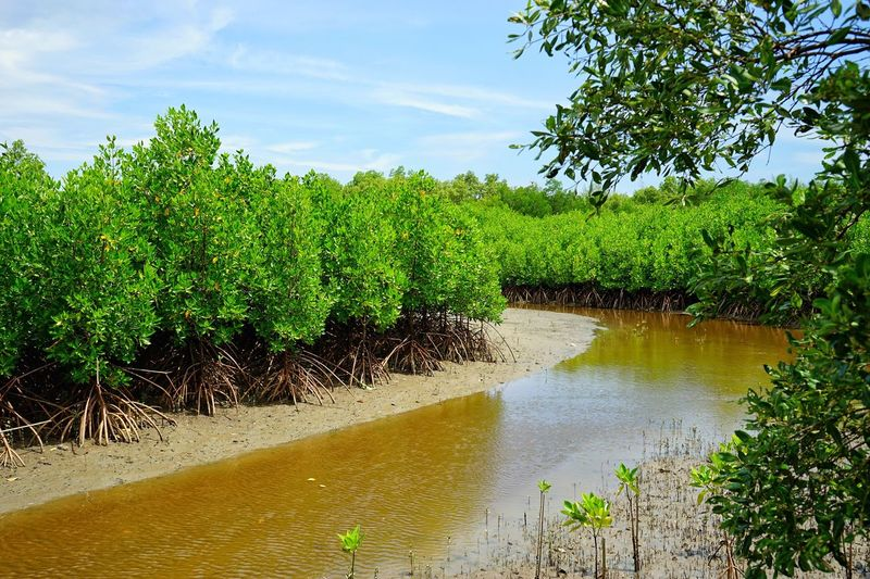 Mangrove forest, Intertidal forest, mainly consisting of Rhizophora spp. Tree EyeEm Selects EyeEm Nature Lover p Water Nature Plant Green Color Sky Outdoors Agriculture Day No People Beauty In Nature Tranquil Scene Tranquility Landscape Scenics Cloud - Sky Rural Scene