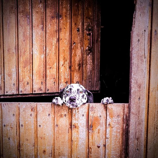 Dog Peeking From Behind Wooden Door